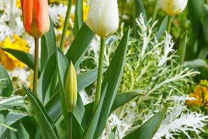 Beautiful varicolored tulips.