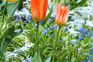 Beautiful varicolored tulips.