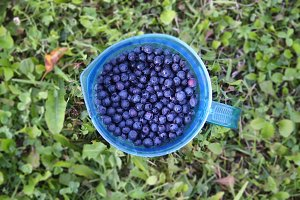 Forest ripe blueberries