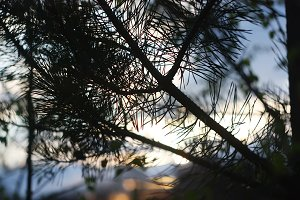 Pine tree branches at evening