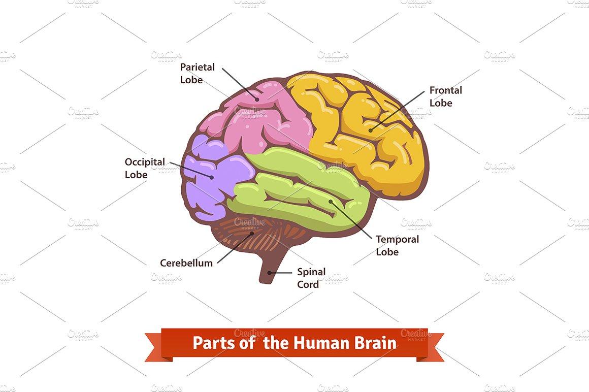 Human brain diagram | Custom-Designed Illustrations ...
