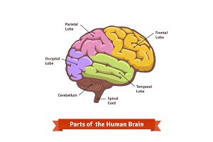 Human brain diagram