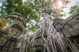 tree roots in angkor wat cambodia