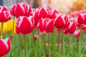 colorful tulips, beautiful flower