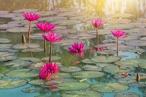 Pink Blooming lotus flower.