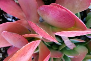 Red and Green Bright Succulent