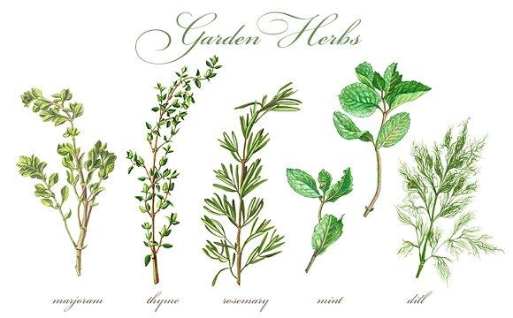 Garden Herbs Set Pencil Drawing