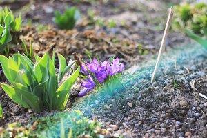 Crocus flowers in the garden