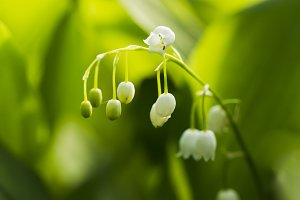 Forest lily of the valley natural ligh