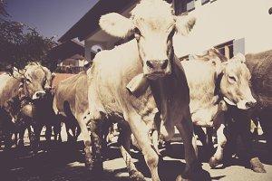 cow cowboy viehscheid