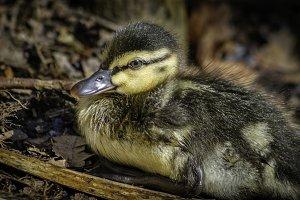 A Duckling