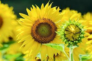 Sunflower in the farm