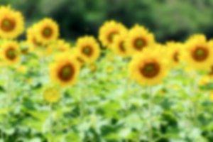 Blur background Sunflower