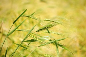 Closeup ripe wheat