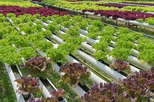 Organic hydroponic vegetable
