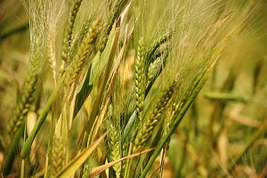 Wheat crop in closeup