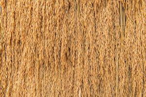 Pile of paddy bundle on rice