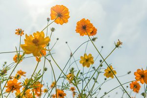 Marigold and Cosmos flowers