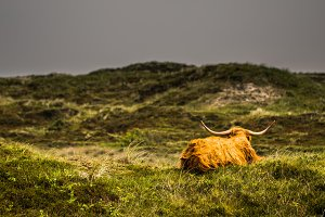 Highland Cattle in ambient light