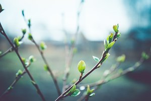 Spring buds on branches