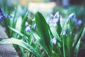 Blue scilla blooming in the garden
