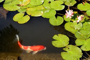 Swimming in the Lily Pond