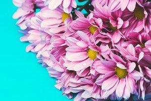 Beautiful pink crysanthemums