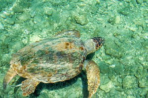 Loggerhead Sea Turtle-Caretta