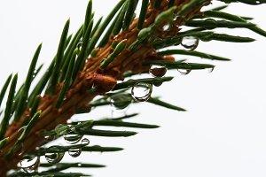 Spruce tree needles with rain drops
