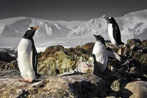 Three penguins in Antarctica