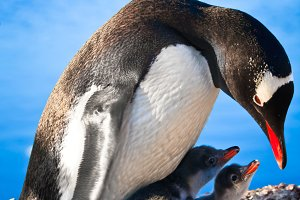 Penguins nest against blue sky.