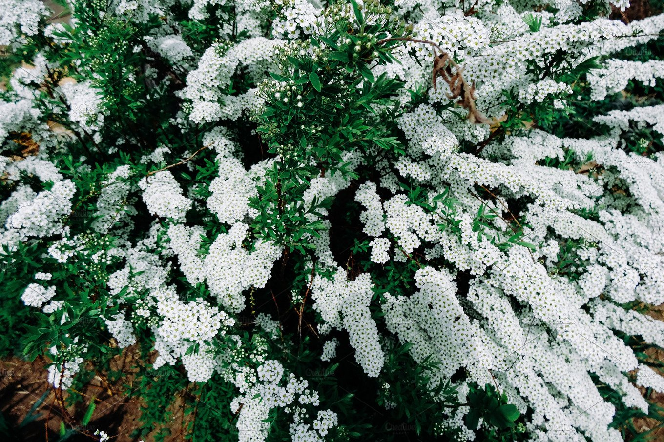 Spiraea alpine meadowsweet spring flower white blossoming shrub spiraea alpine meadowsweet spring flower white blossoming shrub bush of the tiny white flowers nature photos creative market mightylinksfo