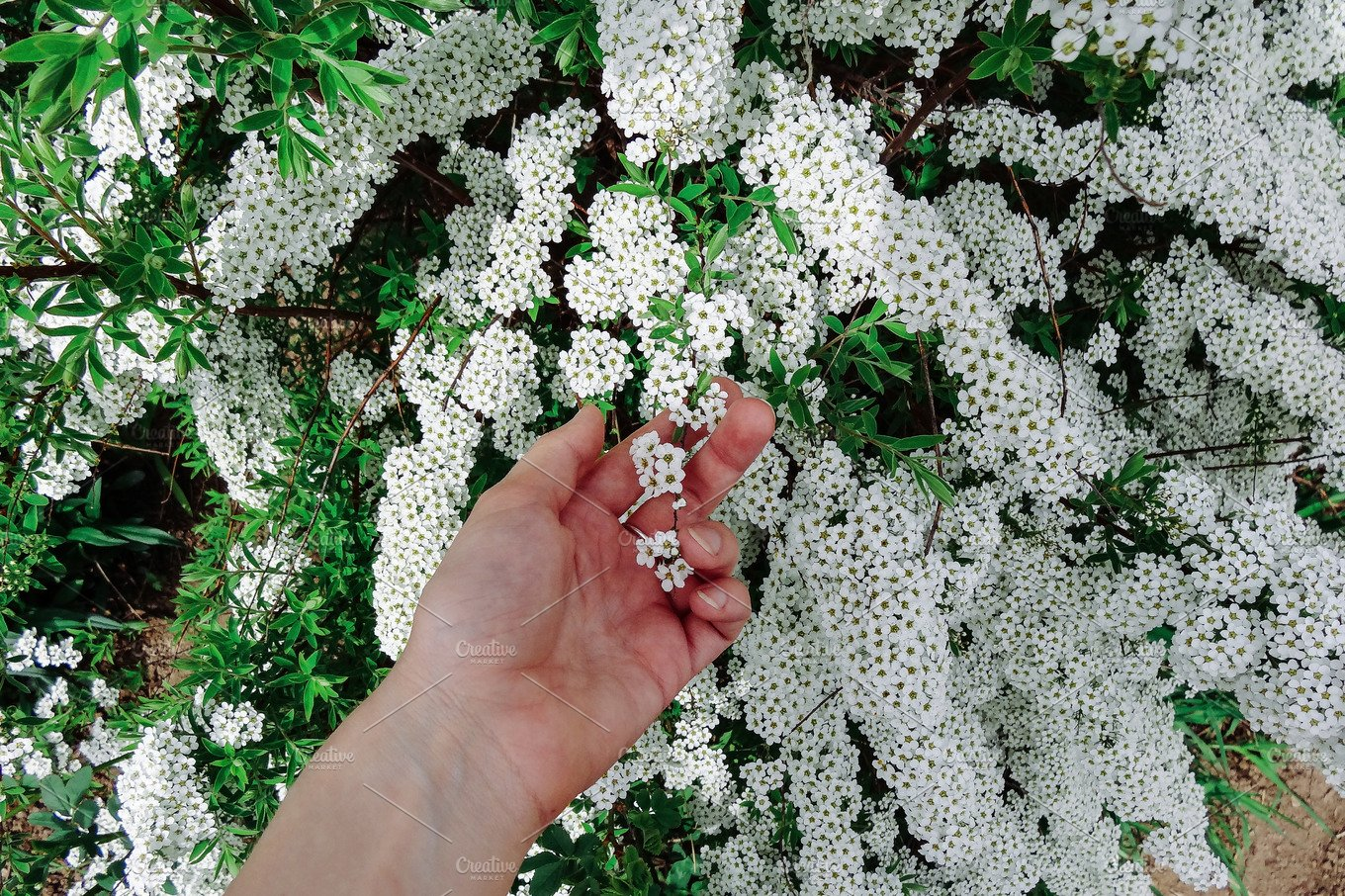 Spiraea alpine meadowsweet spring flower white blossoming shrub spiraea alpine meadowsweet spring flower white blossoming shrub with hand bush of the tiny white flowers nature photos creative market mightylinksfo