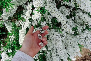 Spiraea alpine (meadowsweet) spring flower, white blossoming shrub with hand. Bush of the tiny white flowers