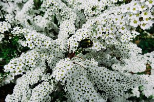 Spiraea alpine (meadowsweet) spring flower, white blossoming shrub with beetle. Macro view of bush of the tiny white flowers