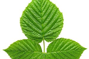 Raspberry leaves isolated on white
