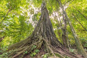 banyan Tree in deep forest.