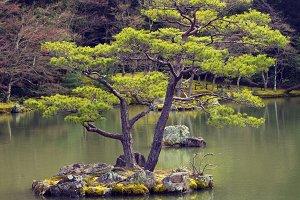 Pine tree in japanese garden