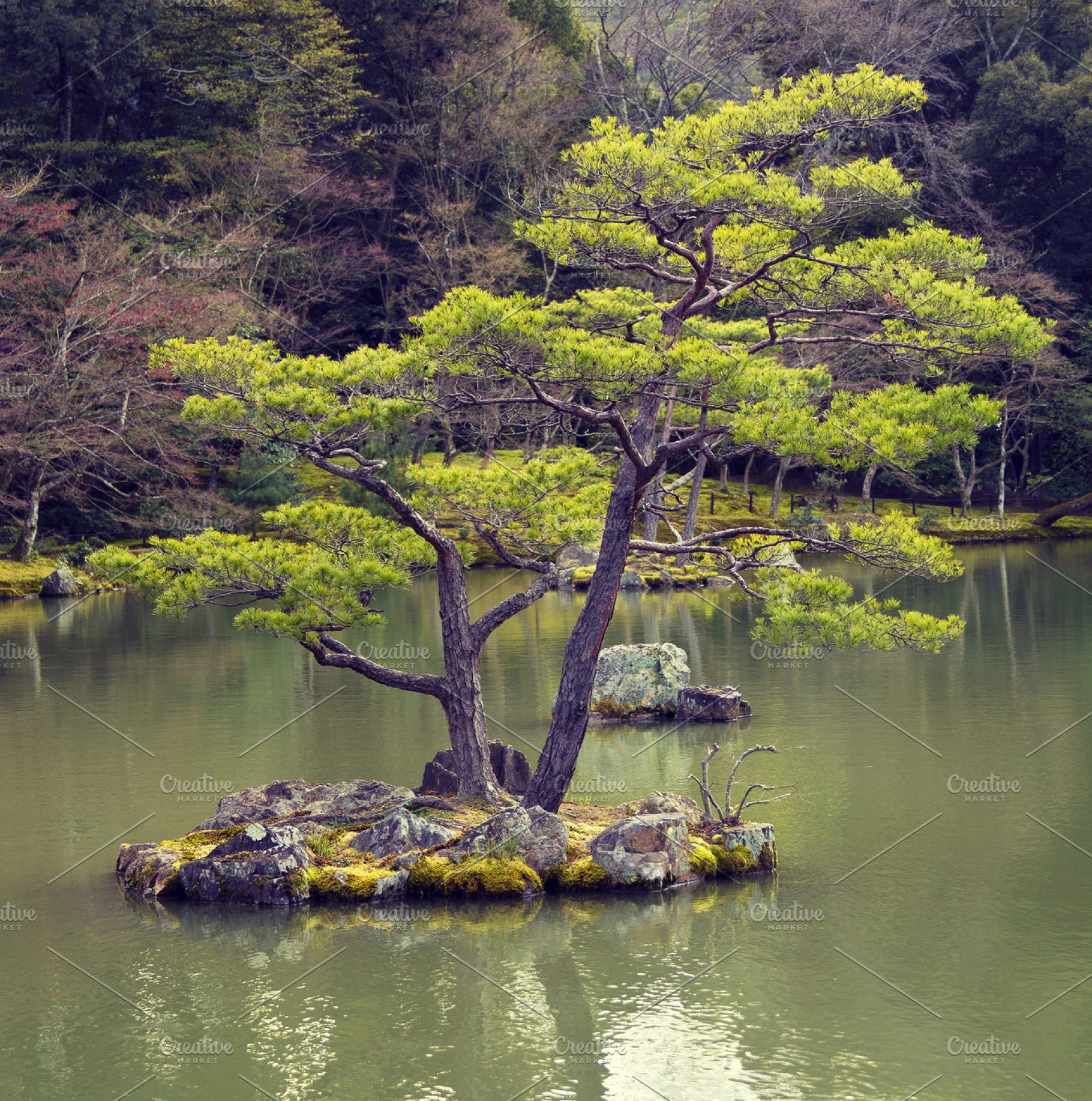 Pine Tree In Japanese Garden High Quality Nature Stock Photos