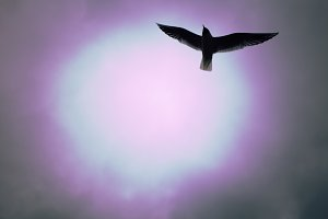 A seagull flying. Seagulls fly in the sky