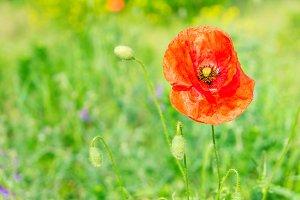 Summer poppy filed