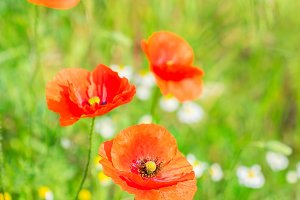 Summer poppy filed
