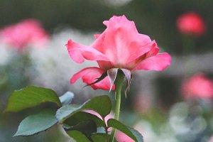 Pink Lady Rose Bloom