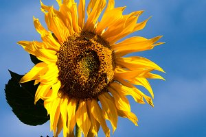 Mature sunflower is in the field