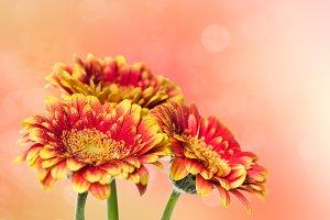 Three flowers orange gerbera