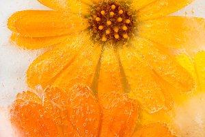 Marigold flower frozen in ice
