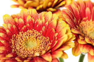 Background of flowers gerbera