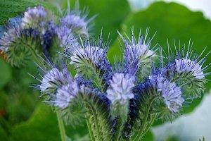 wild blue stamens