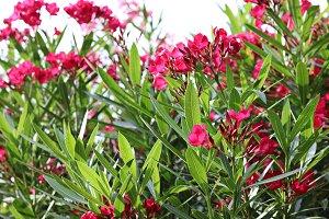 Pink Oleanders After Rain