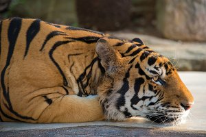 India Bengal Tiger head crouching